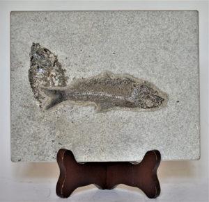 fosilă de pește descoperită în Wyoming, SUA, cu o vechime de 50 de milioane de ani